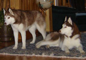 Shiloh & Cierra...proudly bred by us.