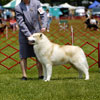 Orion in the sled dog class at the YSHC Specialty show.